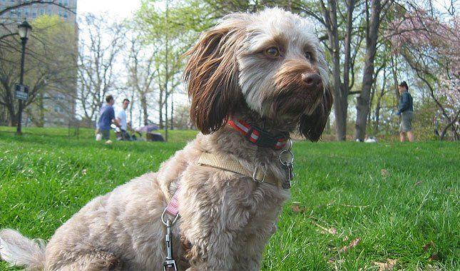 Doxiepoo Dog Breed