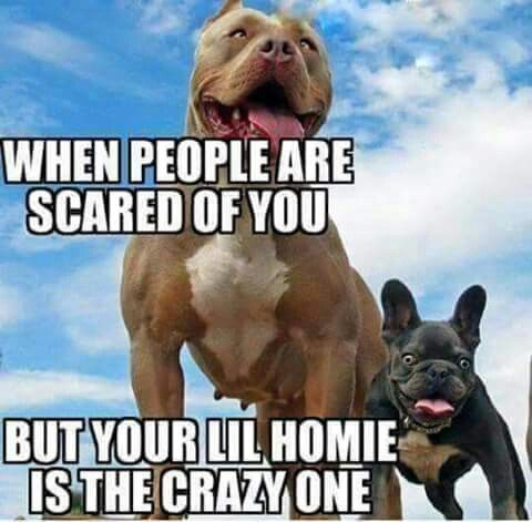 Pitbull Owners World Wide Funny French Bulldogs French Bulldog Meme Pit Bulls Funny