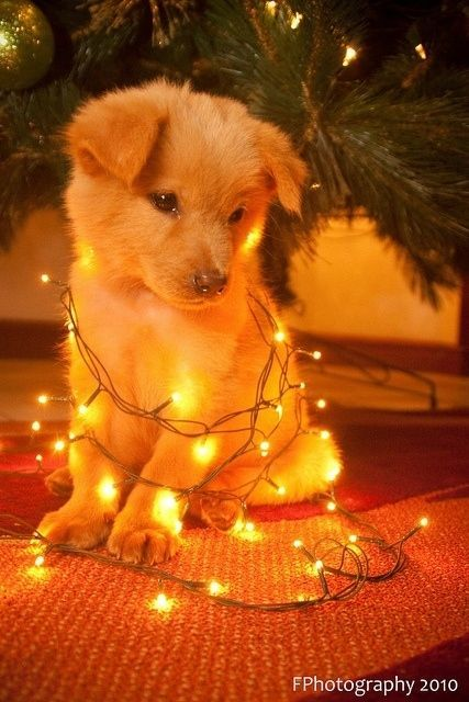 the lights are just a little extra cuteness to this picture Christmas Puppy Christmas Animals