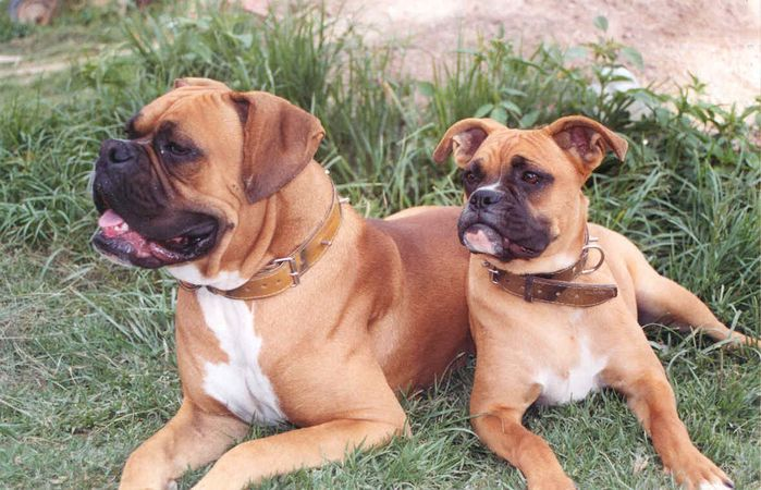 Two boxer dogs 2004