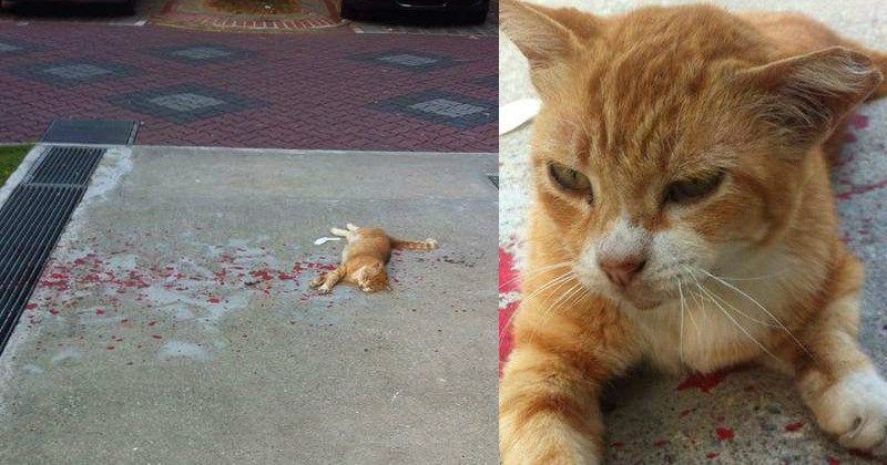Funny cat trolls person to look like injured cat s adopted