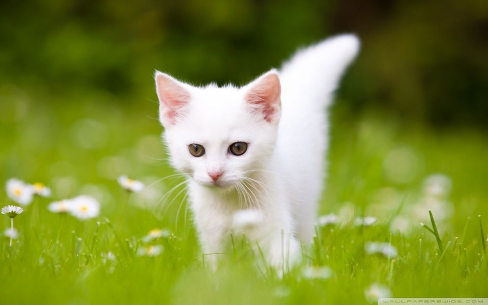 How adorable is this beautiful white kitty on lush green grass Go and this wallpaper if you are a cat lover or even if you are not