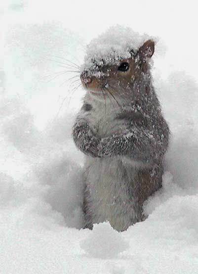 Winter squirrel…… NOW LET ME THINK WHERE DID I HIDE THAT LAST STASH OF NUTS ……………p