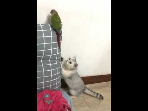 Funny Cat Video Cats being Cats this week cats of china douyin