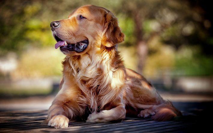 Download wallpapers Golden Retriever blur labradors dogs pets cute dogs