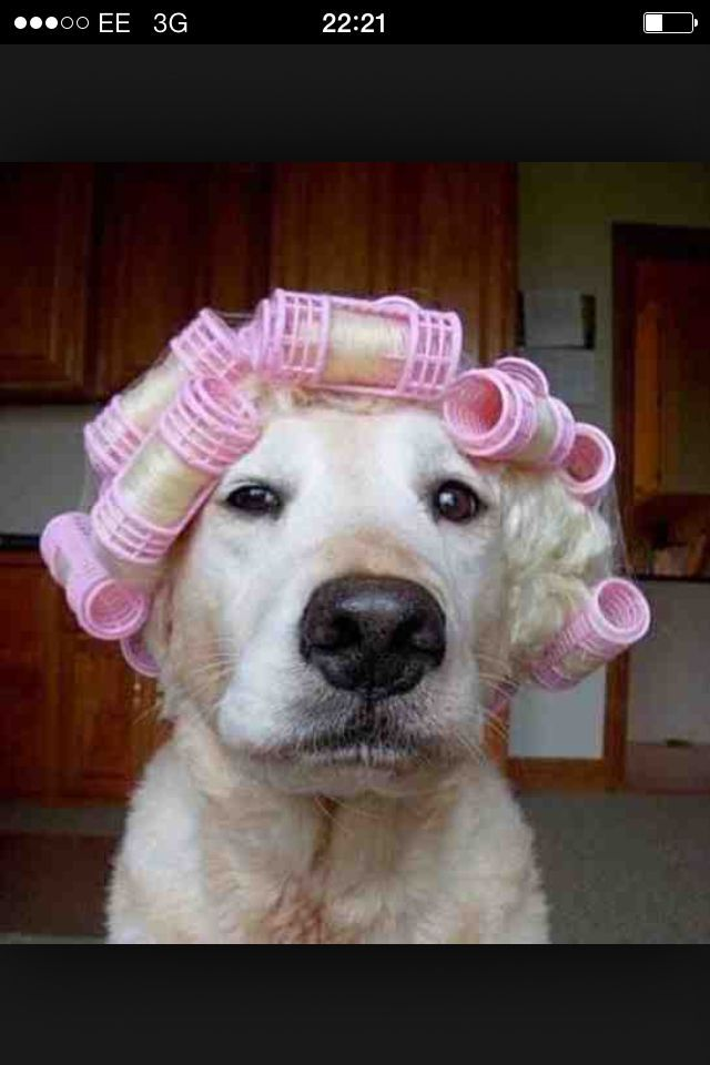 Blonde ambition Curlers Clean Animal Memes Funny Animal Jokes Funny Animals With Captions