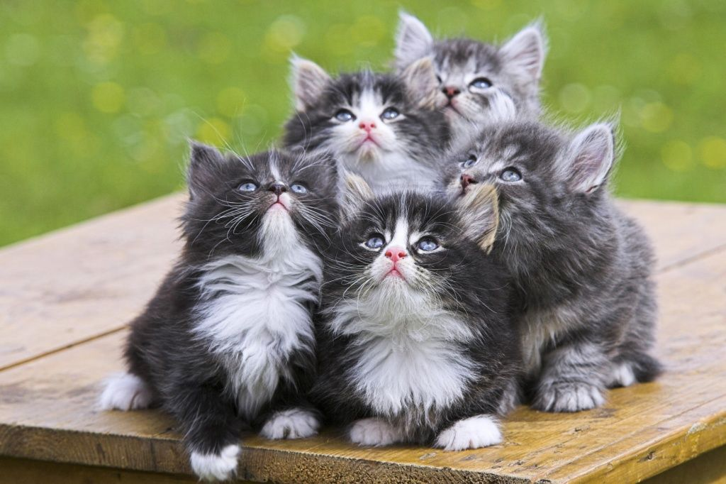 Funny Norwegian Forest Cat kittens photo