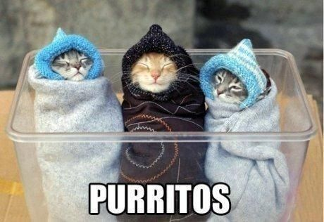 kitten purritos cute burritos Cats bundled