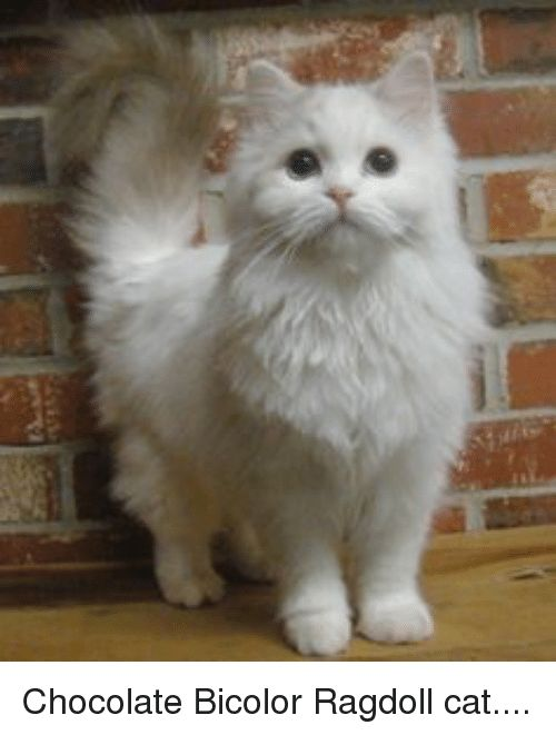 Cats Funny and Chocolate Chocolate Bicolor Ragdoll cat