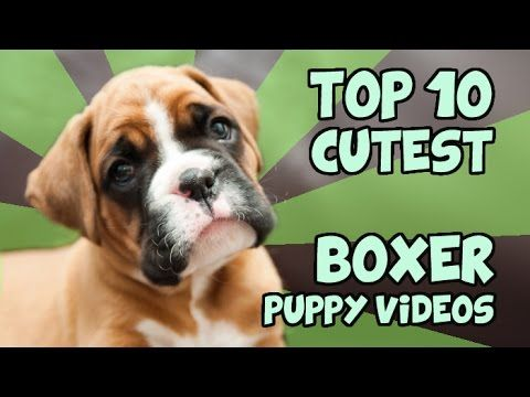 TOP 10 CUTEST BOXER PUPPY VIDEOS OF ALL TIME