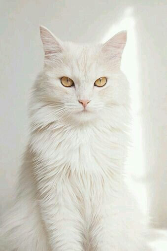 A White Maine Coon Cat beautiful