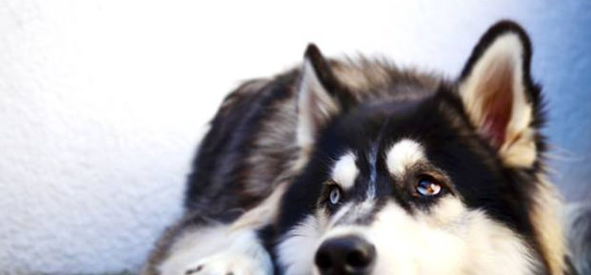"""Game of Thrones"" fans are ing and abandoning huskies in droves"