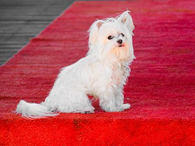 What Is the Maltese Dog Breed Like as a Pet