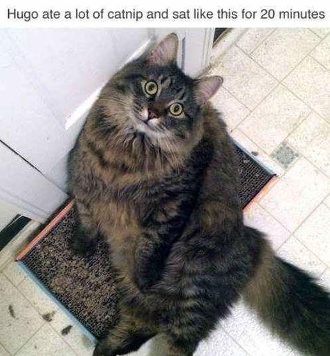 cat catnip stoned