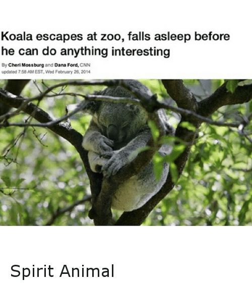 Animals Anime and Fall Koala escapes at zoo falls asleep before he