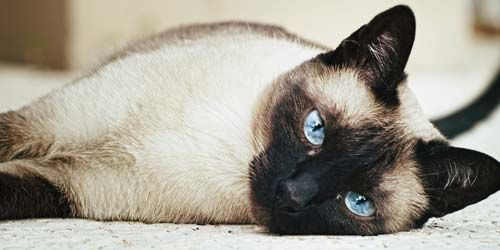 Siamese Cat Names – 55 Awesome Names for Your Cat
