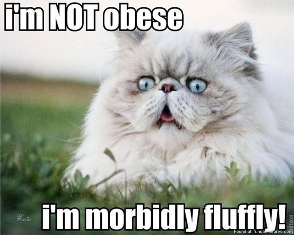 funny cat pictures not obese
