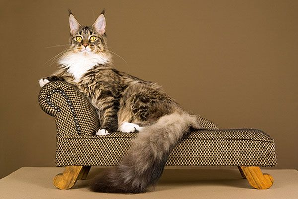 A Maine Coon cat lounging on a couch