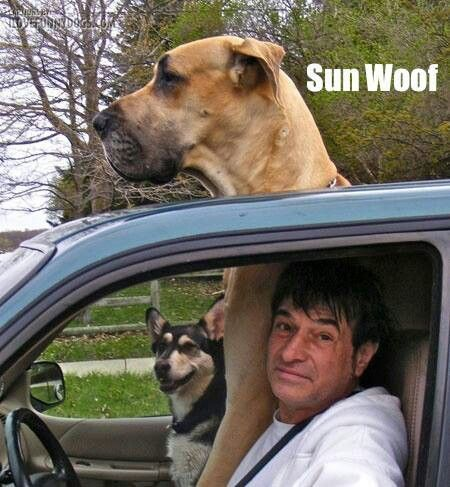 Great Dane Sun Woof Meme