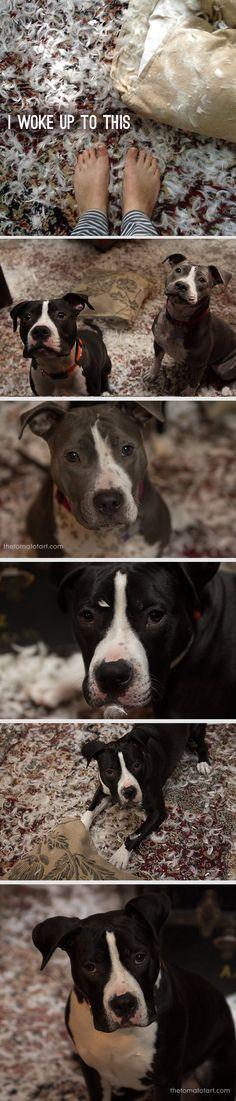 Dog Shaming Pitbulls vs Pillow — The Tomato Tart I m surprised Cute PupiesFunny Animal
