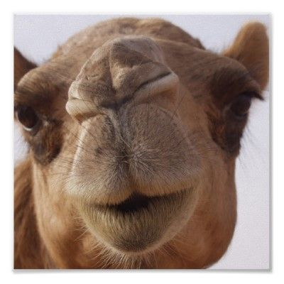 Camel Chameau Animal Posters Poster Prints Wednesday Hump Day Wednesday Humor