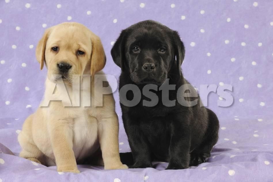Yellow Labrador Puppy Sitting Next to a Black graphic Print at AllPosters