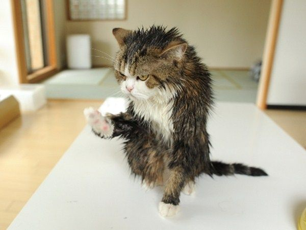 Grab the Inspirational Wet Cat Pictures Funny