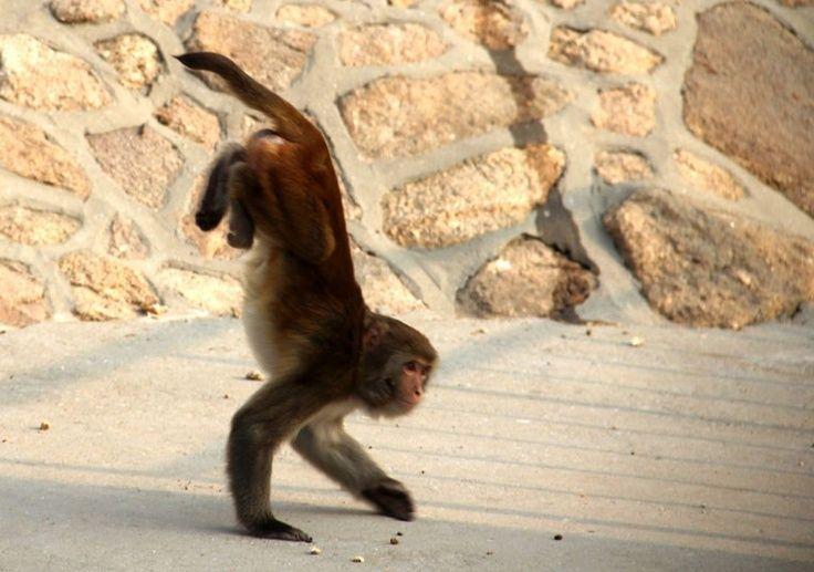 25 best ideas about Monkey Names on Pinterest