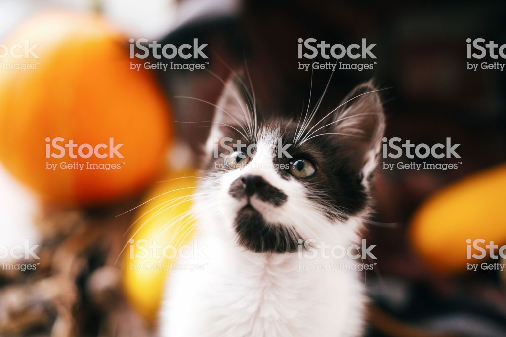 Cute kitty sitting in wicker basket with pumpkin and zucchini in light on wooden background