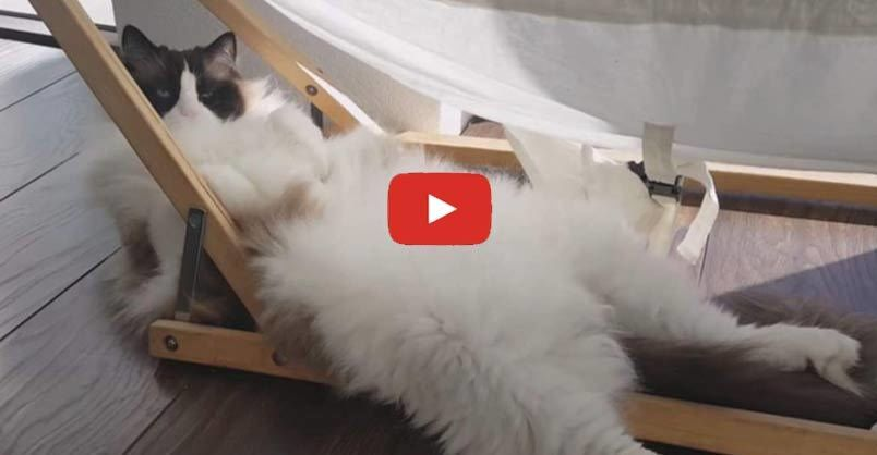 Grab the Lovely Ragdoll Cat Funny Pictures