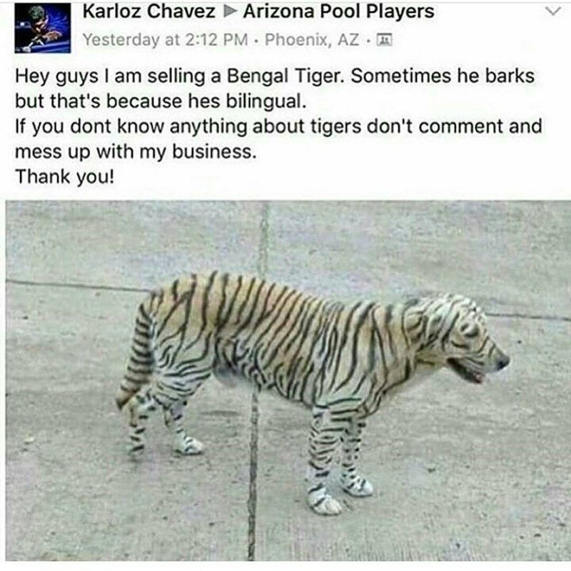 Funny picture of a dog that s been painted like a Bengal Tiger and someone is jokingly