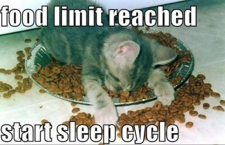 """55 Funny Cat Memes """"Food limit reached Start sleep cycle """""""