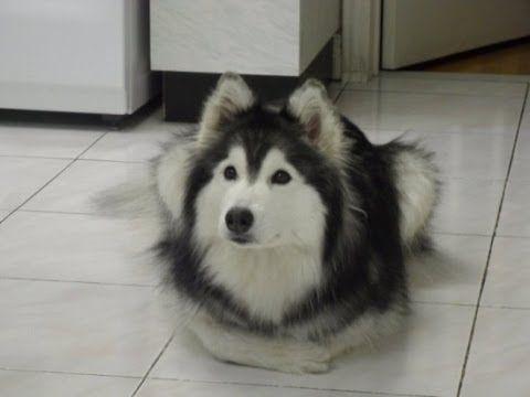 Husky Dog Raised around Cats Actually Acts Like e