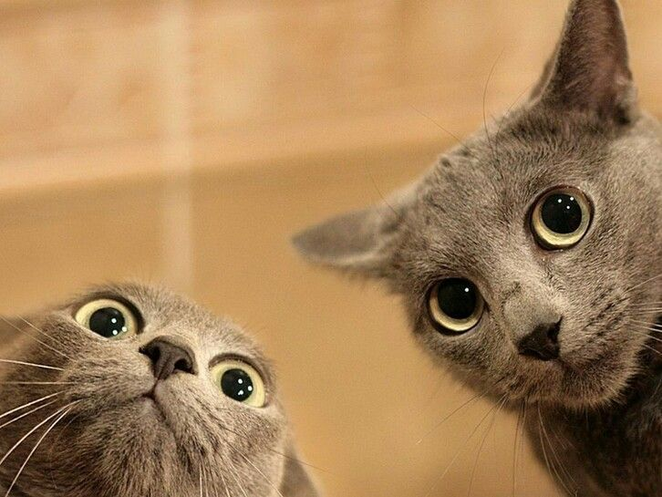 2 Russian Blue cat faces looking funny