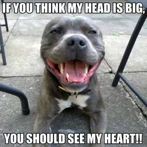 12 Reasons Why You Should Fall In Love With A Pit Bull