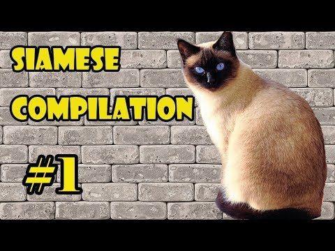 Funny Siamese Cat pilation 2018 1