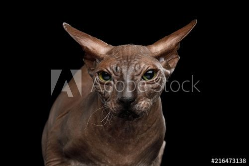 Portrait of Sphynx Cat with funny ears Angry Looking in Camera Isolated on Black Background front view