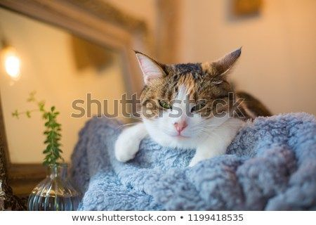 sleepy calico cat looking at the camera with funny face