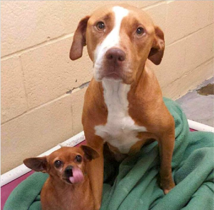 Merrill and Taco at Rocket Dog Rescue Pit Bull Rescue Story
