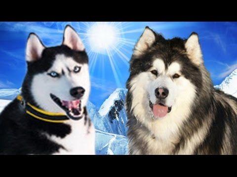 Siberian Husky vs Alaskan Malamute Highlights Strong Dogs Elite