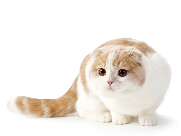 5 SCOTTISH FOLDS ONCE HAD A DIFFERENT NAME