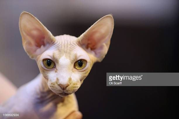 A sphynx cat is held at the Governing Council of the Cat Fancy s Supreme Championship