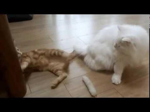 g♥kitten vs old cat ♥cute Cat fights♥funny cats video