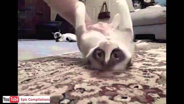 Epic Funny Cats Cute Cats pilation – 60 minutes [HD][HQ]