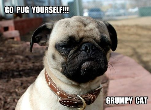 Best images about pugs on pinterest funny pug 492x359 Pug funny dog meme