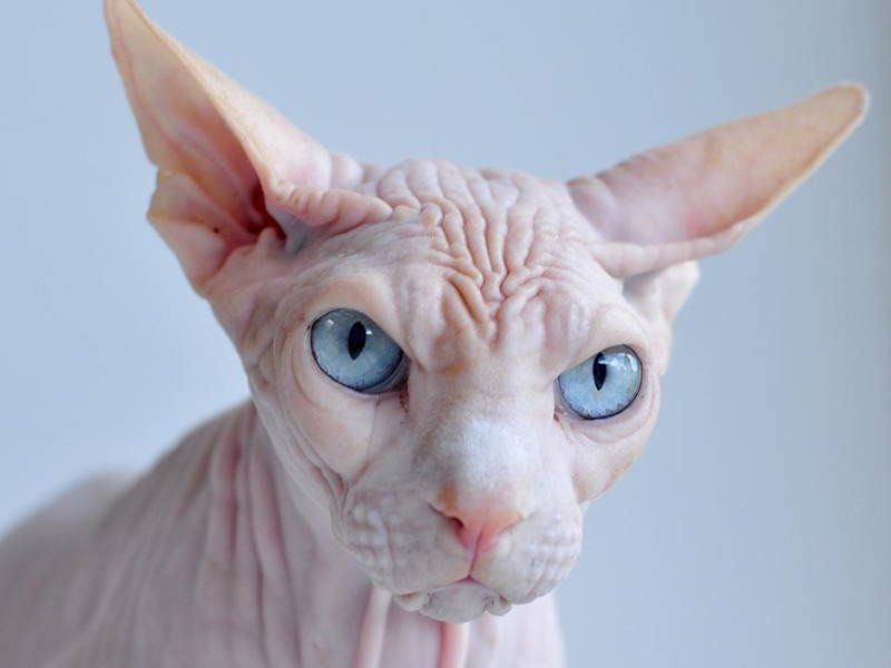 From the hairless to the stout to the just plain weird who knew that cats could look so bizarre If you re looking for the ugliest cat breeds