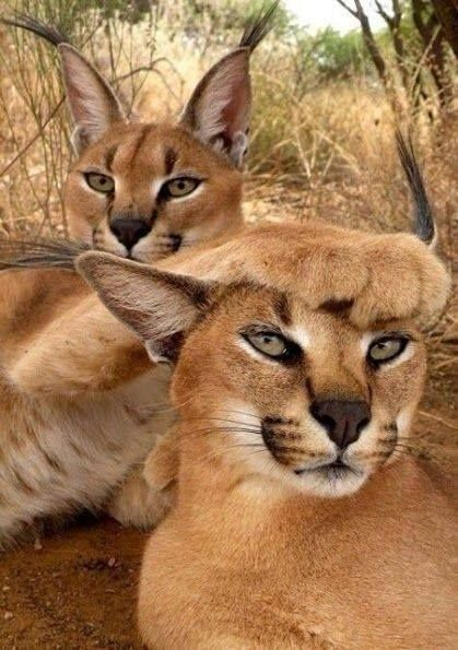 Virtual Safari Wild Animals In Africa Funny Wild Animals Desert Animals Cute Animals