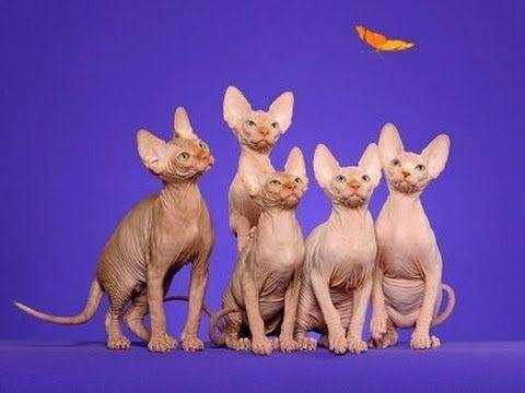 Sphynx cat International cat show Winner Cat FIFe 2014 Funny Cats