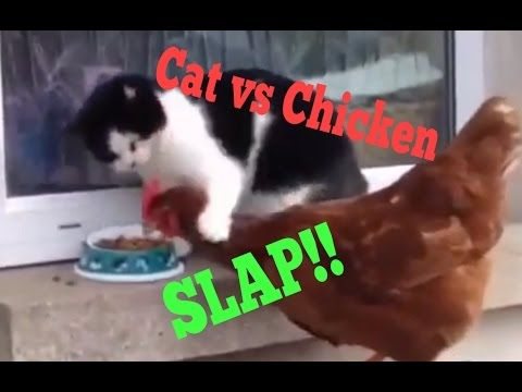 Cat vs Chicken FOOD FIGHT Who will win the Cat or the Chicken Funny Animal Attack