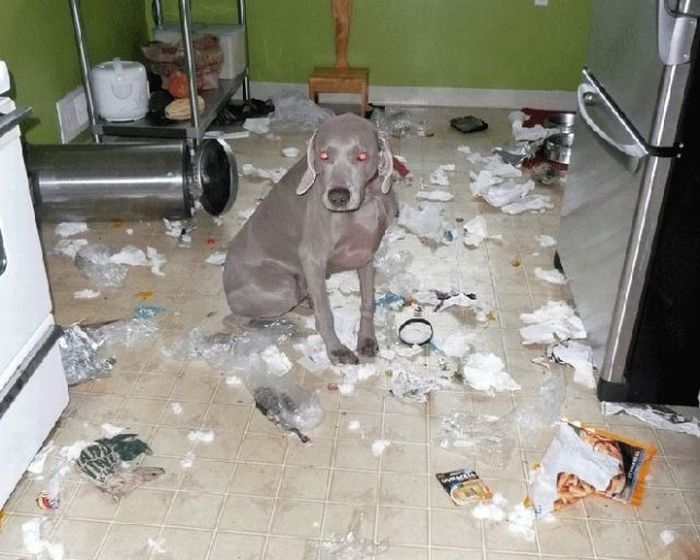 funny cat picture funny dog picture pets destroying things